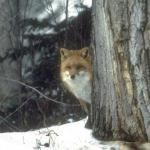 Fox Season:    With Dogs : year round    With legal weapons:                             Jan. 5 -26