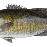Smallmouth Bass Limit of 5 per person(total of bass, including largemouth), 14-inch minimum size limit, except 2 may be less than 14 inches