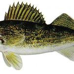 Walleye No size limits, limit of 8 per person per day