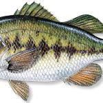 Largemouth Bass Limit of 5 per person(total of bass, including smallmouth), 14-inch minimum size limit, except 2 may be less than 14 inches